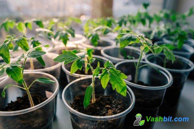 Выращивание рассады томатов в домашних условиях: от семян до взрослых растений