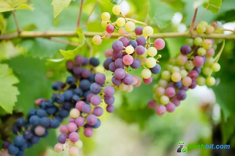 Осенняя и весенняя посадка винограда - практический учебник
